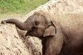 Smiling elephant Royalty Free Stock Photo