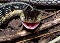 Smiling Garter Snake Stock Photography