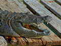 Smiling Gator Royalty Free Stock Images
