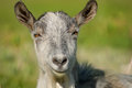 Smiling goat capra the photo of the animal Royalty Free Stock Photo