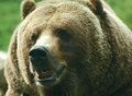Smiling grizzly bear close up of a the is a north american subspecies of the brown these awe inspiring giants Royalty Free Stock Photo