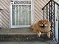 Smiling Guard Dog