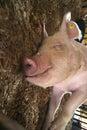 Smiling Hog Royalty Free Stock Photo