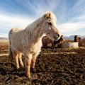 Islandský kôň v
