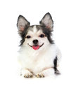 Smiling long coated chihuahua Royalty Free Stock Photos