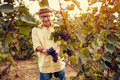 Smiling man harvesting grapes for wine Royalty Free Stock Photo