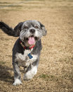 Smiling mixed breed terrier running Royalty Free Stock Images