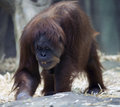 Smiling orangutan photo close up Stock Image