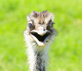 Smiling ostrich and the World Wildlife Zoo in Arizona Royalty Free Stock Photo
