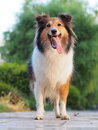 Smiling shetland sheepdog years old Stock Image