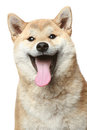 Smiling Shiba inu dog Royalty Free Stock Images