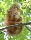 Smiling Squirrel Royalty Free Stock Photo