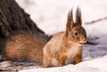 Smiling sunny squirrel on spring snow near tree Royalty Free Stock Photo