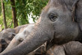 Smiling tuskless elephant Royalty Free Stock Photo