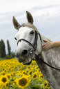Smiling white horse in sunflower field Royalty Free Stock Photo