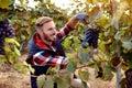 Smiling wine maker picking black grapes on vineyard Royalty Free Stock Photo