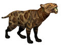 Smilodon cat on white lived in north america from the eocene to pleistocene period and preyed many large animals Stock Image