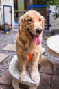 Smily golden retriever young sitting in bench Stock Images