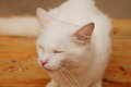 Smirking white cat a male one year old with a expression Stock Photography
