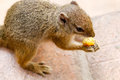 Smith s bush squirrel at victoria falls safari lodge zimbabwe south africa Stock Photography