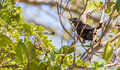 Smooth-billed Ani on branch Royalty Free Stock Images