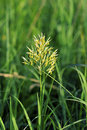 Smooth Brome  44332  Stock Photography