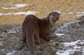 Smooth coated otter Lutrogale perspicillata walking in soft mud at Penang Island. Cute nature in Malaysia by Jason Crook. Royalty Free Stock Photo