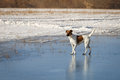 Smooth Fox Terrier is walking on thin ice .. Training Royalty Free Stock Photo