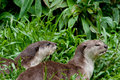 Smooth river otters at lok kawi reserve in borneo malaysia Stock Images