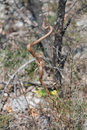 Smooth snake coronella austriaca is a non poisonous this has a habitat in the whole of europe and western asia able to Stock Photo