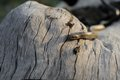 Smooth snake coronella austriaca on the old stump Royalty Free Stock Images