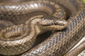 Smooth snake portrait coronella austriaca macro Royalty Free Stock Photo