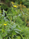 Smooth sow thistle sonchus oleraceus yellow soft Stock Photo