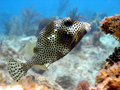 Smooth Trunk fish Royalty Free Stock Photos