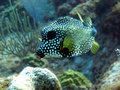 Smooth Trunkfish Royalty Free Stock Image