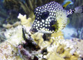 Smooth Trunkfish  , lactrophrys bicaudalis Royalty Free Stock Images