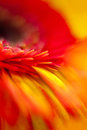 Smoothness macro selective focus of gerbera flower Royalty Free Stock Images