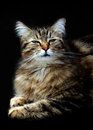 Smug maine coon cat a poses against a black back ground Stock Photography