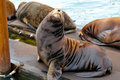 Smug sea lion Stock Images