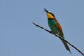 Snack swallow tailed bee eater with hornet in beak in pilanesberg nature reserve Royalty Free Stock Photo