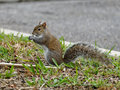 Snack time squirrel in profile sitting up on its haunches eating a Stock Photography