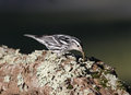 Snacking black and white warbler a mniotilta varia a bug shot in acadia national park maine usa Royalty Free Stock Images