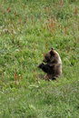 Snacking Grizzly Cub Royalty Free Stock Photos