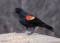 Snacking red winged blackbird a male agelaius phoeniceus on a bird feeder shot in cambridge ontario canada Stock Image