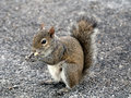 Snacking squirrel on a piece of bread in a parking lot Royalty Free Stock Photos