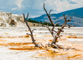 Snag dead tree has been claimed advancing flow limestone deposited mammoth hot springs yellowstone naitonal park wyoming usa Stock Photo