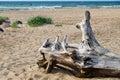 Snag on wild sandy beach of baltic sea coast landscape Stock Images