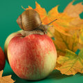 Snail on an apple Royalty Free Stock Photo