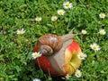 Snail on apple Royalty Free Stock Photo