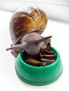 Snail arhahatina eat mushrooms giant african from the bowl Stock Photography